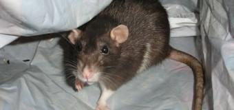 Gettorf kämpft gegen die Ratten an