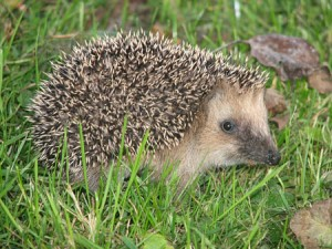 800px-Hedgehog_germany0908