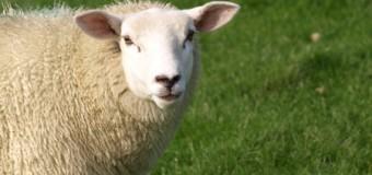 Gerissene Schafe im Kreis Rendsburg-Eckernförde – Es war ein Wolf